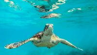 Caretta Caretta Turtles